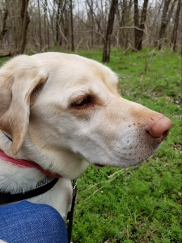 Enjoying the sites, sounds, and scents of fresh spring woods; my labbie-girl & trust service dog, Daisy.
