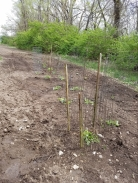 Rows of snap peas, broccoli,& summer squash.
